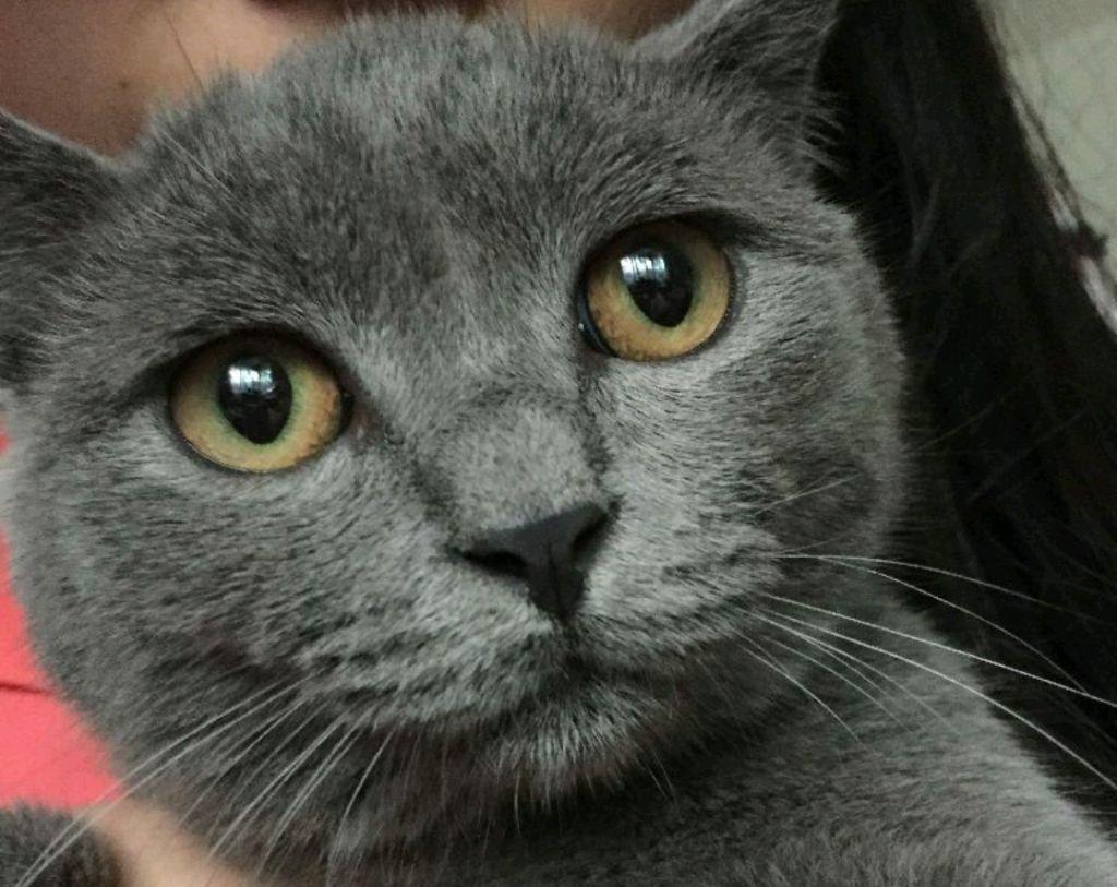 英�yf����(K�ny��K�_英短蓝猫如何挑选?