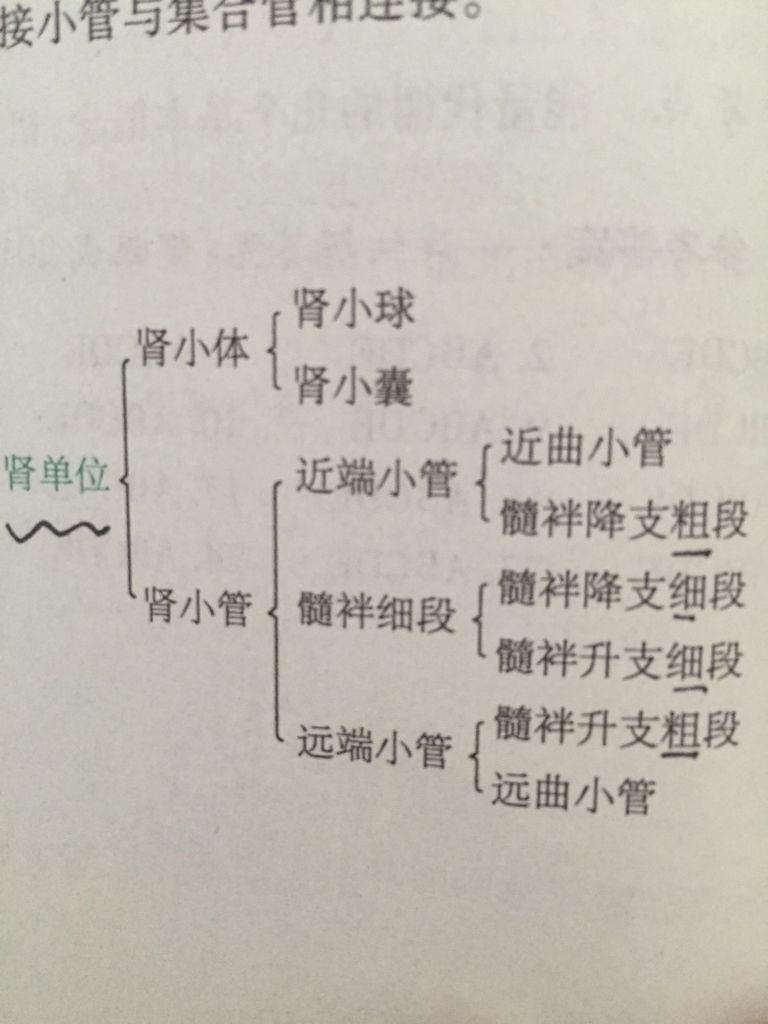 肾单位和集合管示意图