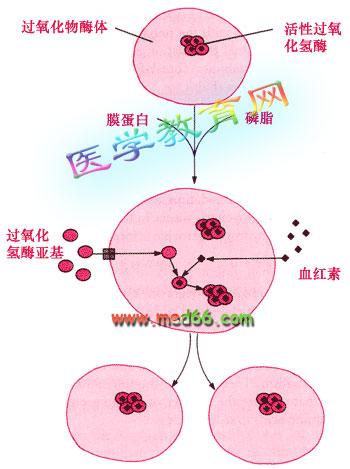 过氧化物酶类存在于