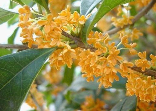 桂花盆栽的养殖方法