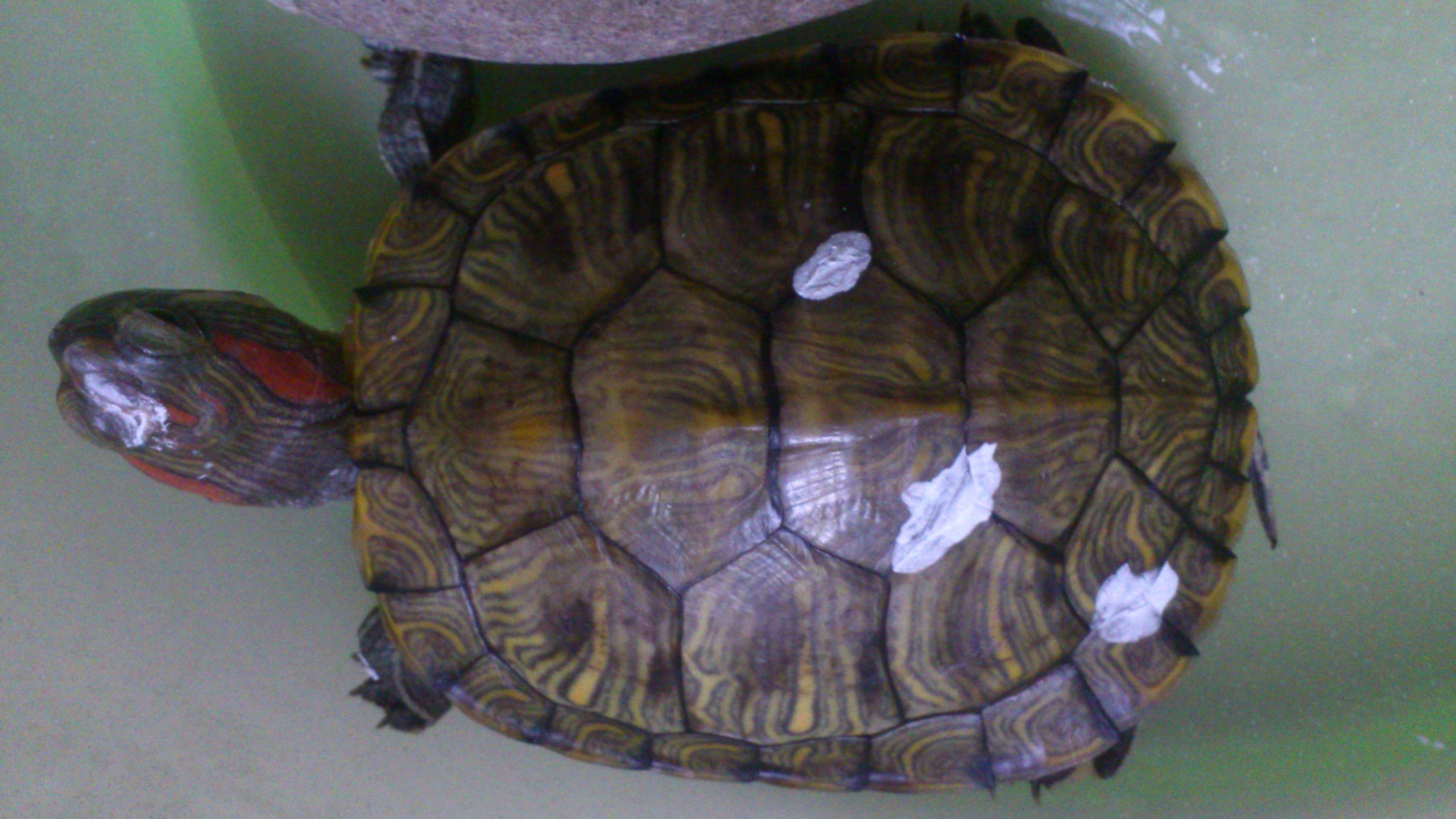 乌龟什么颜色好_乌龟壳的颜色越来越深,是不是得了什么病?