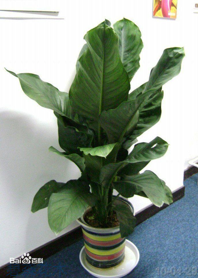叶子类似芭蕉的植物