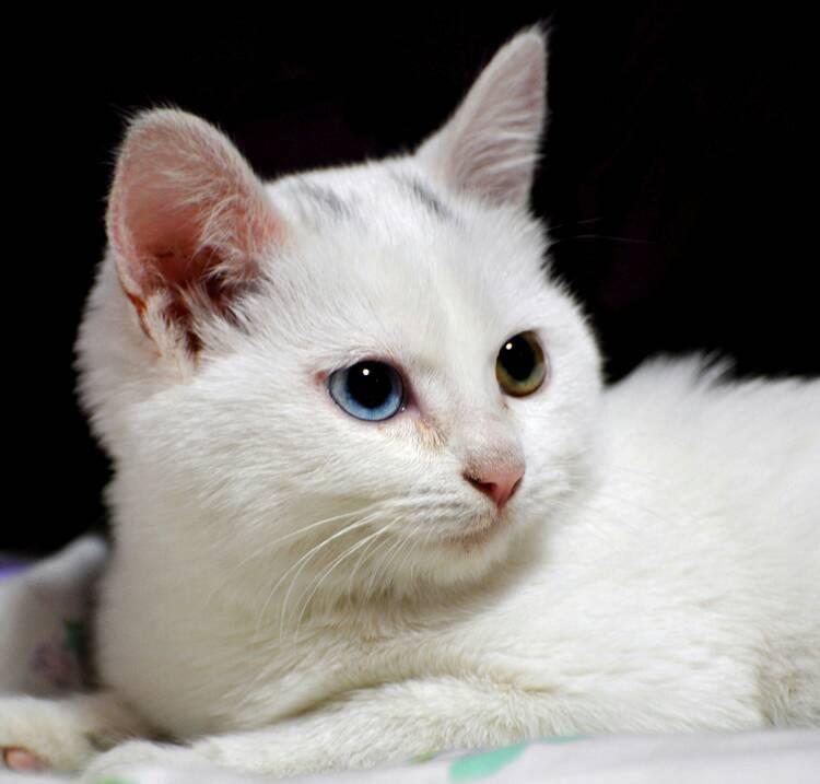 白眼球发黄图片_我家小猫内眼角为什么有白色的一层膜【呜呜,好急啊】