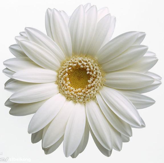 小雏菊的花期