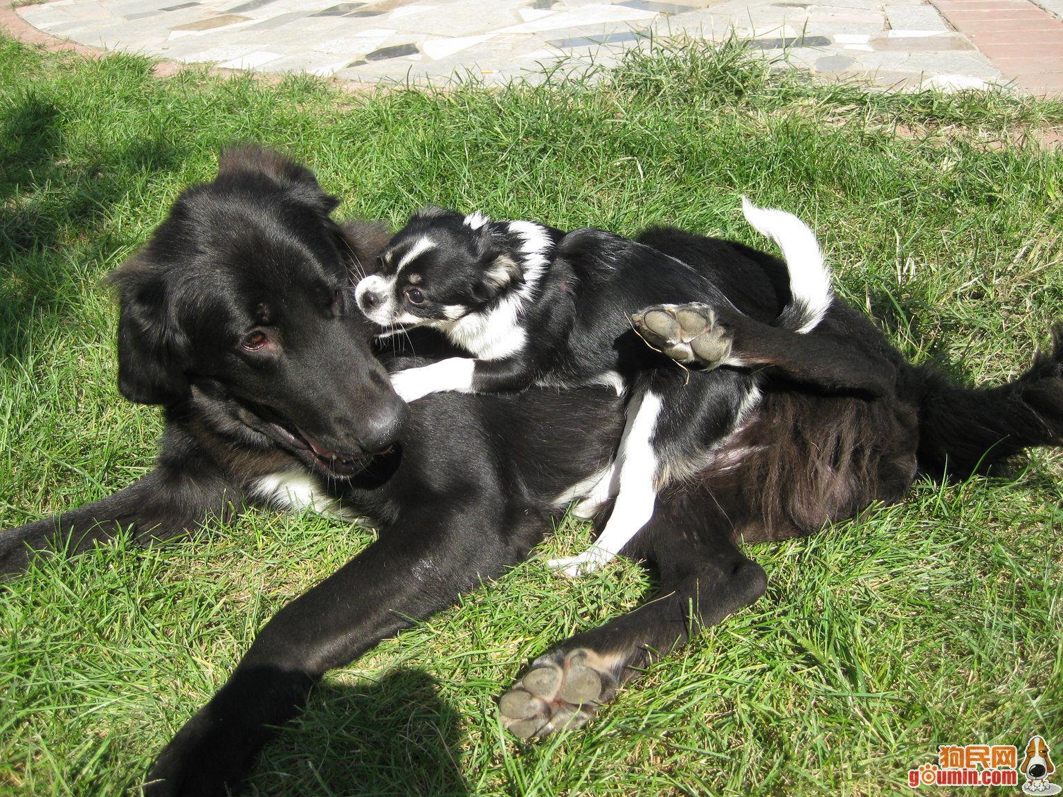 平毛巡回猎犬多少钱