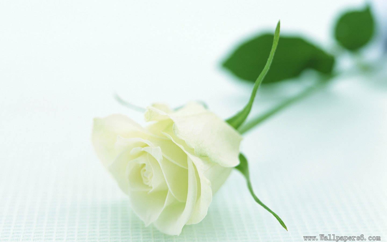 黑玫瑰与白玫瑰那个漂亮图片
