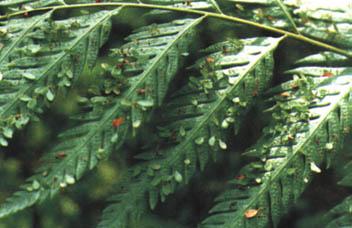 烫狗脊是什么植物