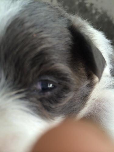 狗狗眼睛有蓝膜怎么治