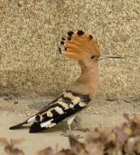 头上有长羽冠,嘴细长而尖它是啄木鸟一类的益鸟,插入泥土,石缝间挖清道夫卵磷脂图片