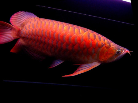 辣椒红龙鱼_看好了这叫红龙,真正的红龙鱼就两种,一种血红龙,一种辣椒红,在就金龙