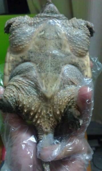 乌龟公母区别图解 罗汉鱼公母鉴定图解 珍珠罗汉鱼公母图解图片