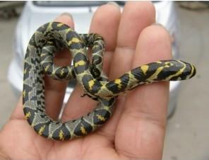 他说是玉米蛇 美女蛇