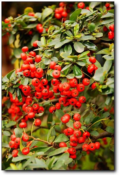 56红果女生_这是什么植物,结这种小红果