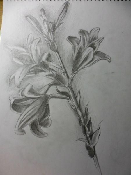 铅笔画 素描画 百合花图片