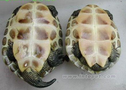 乌龟怎么分公母带-左边的珍珠龟是公的,右边的珍珠龟是母的.   公龟尾巴粗大,母龟尾图片