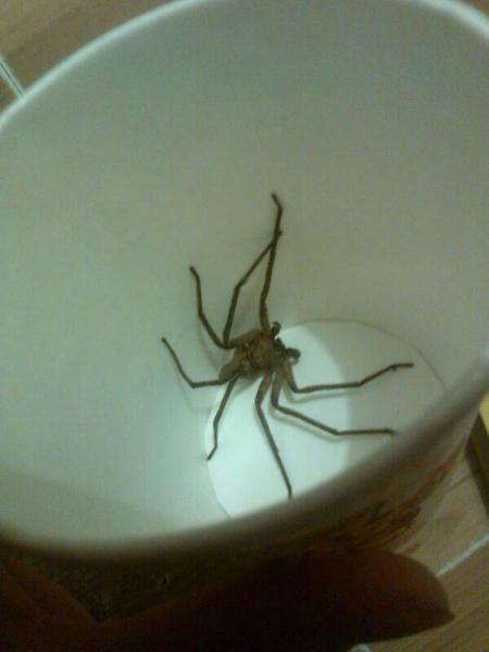 ... 最 常见 的 蜘蛛 家里 常见 的 蜘蛛 在线 图片 欣赏