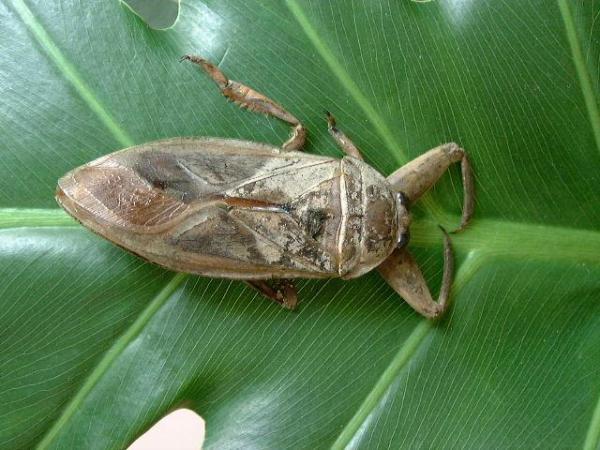 求一种吃食青蛙的昆虫名字以前看过电视放到日本有种昆虫,它有螳