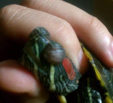 巴西龟白眼病久治不愈怎么办