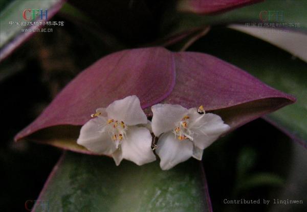 一种植物叶子形状像 剑麻 但不大,背面紫色,分叉