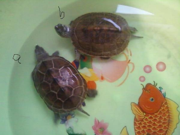 的两只乌龟怎么分公母,请附带谈判理由图片