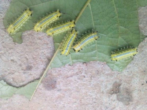 昆虫名称-这虫子学名叫什么