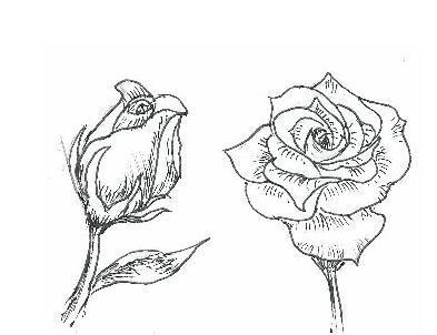 如何画玫瑰花图片