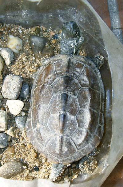 请高手鉴别乌龟的种类 有图 有了解的帮忙回答下补充的问题