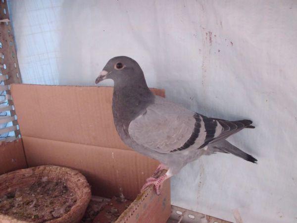 求求帮忙看鸽子公母图片