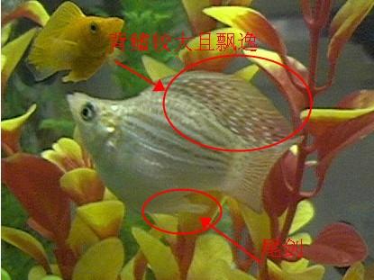 963942191_... 鱼生小鱼前兆_... 玛丽鱼么?怎么分公母? 金玛丽鱼