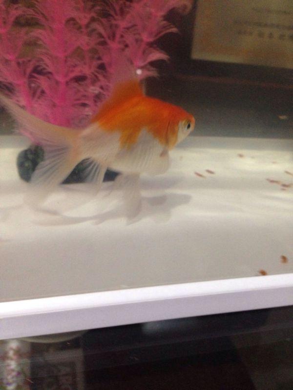 这里面有母金鱼么 这些金鱼 是要生小崽么图片