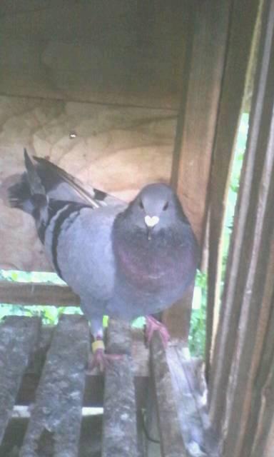 我买了五只鸽子来养,现在我想分清楚这五只鸽子的公母,有谁能帮我图片