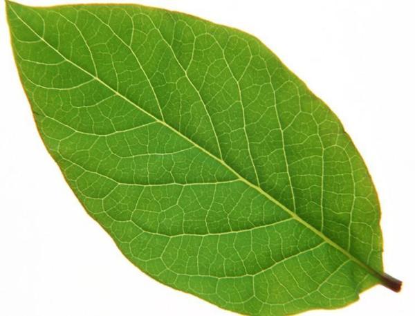 樱桃树叶子什么样子-树叶的形状能不能发点图片图片