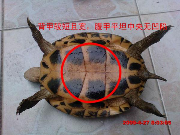 草龟怎么分公母图解图片