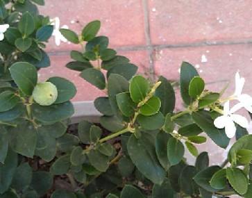 白花,有五瓣,结红果的是什么植物 果子可以吃吗 附图