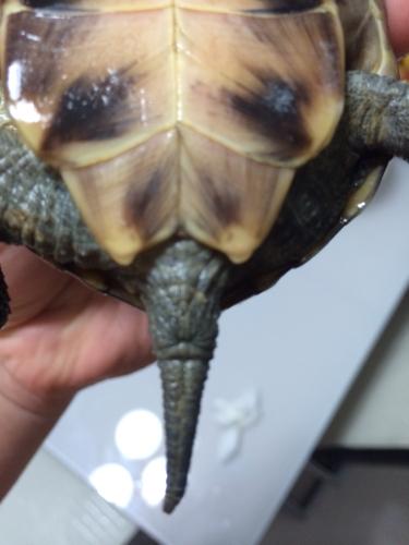 中华草龟鉴别公母,麻烦高手给我的中华草龟鉴别下公母图片
