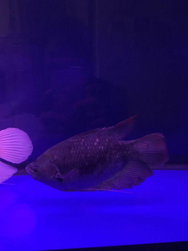 神们帮我看看这招财鱼是公母 另外谁能提供一张母招财鱼长大的图图片