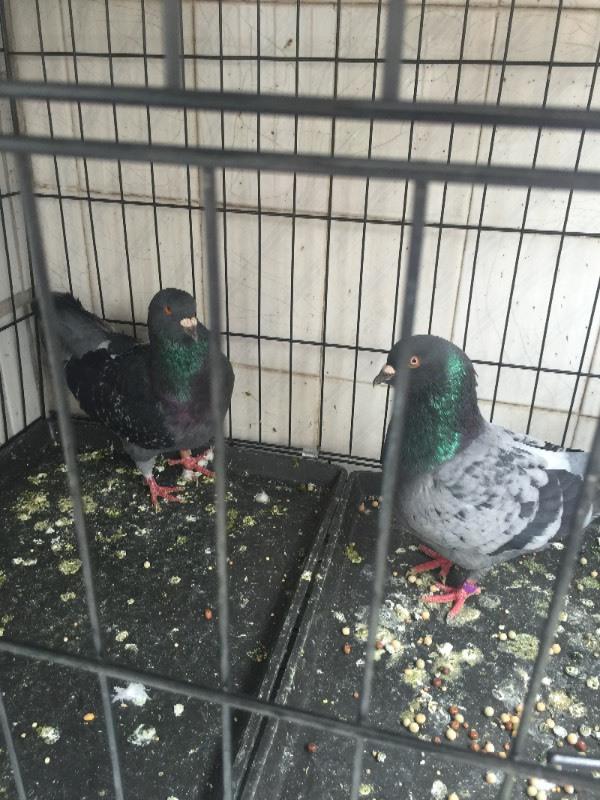 请帮我区分完宝鸽子的公 母,这二只可以配对吗图片