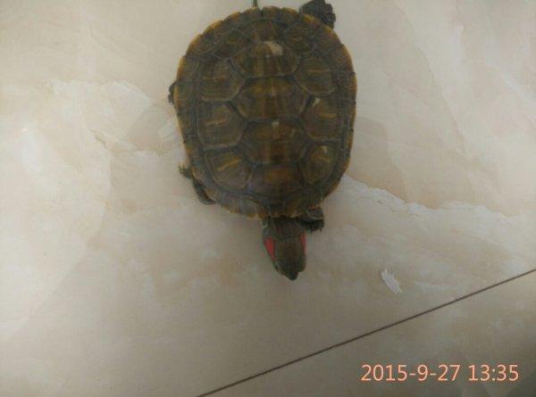 我们家的红耳龟怎么了 白天老乱跑常常卧阴凉处不走,而且公母我都不图片