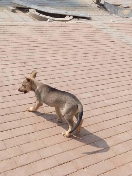 日本狼青犬价格