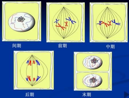 【以两条染色体为例,构建植物细胞有丝分裂各期模式图图片