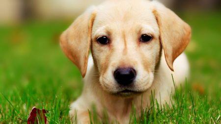 想买一只狗狗带回家给爸爸妈妈,金毛和边牧哪个适合?
